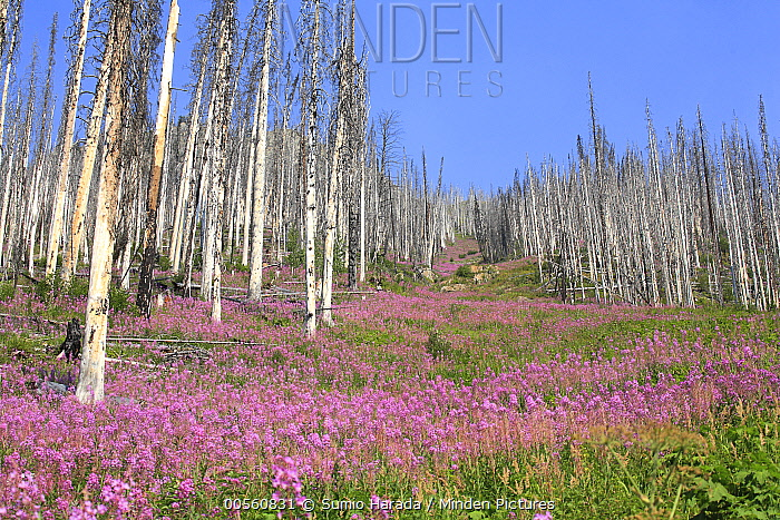 Fireweed (Chamerion angustifolium) flowers in burned area, Kootenay National Park, Canada