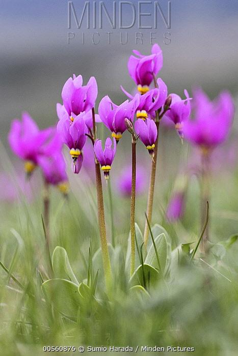 Shooting Star (Dodecatheon sp) flowers, Glacier National Park, Montana