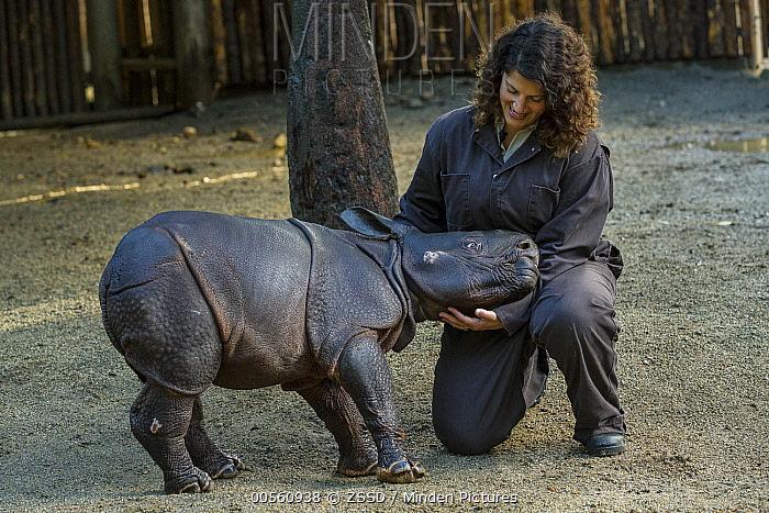 Indian Rhinoceros (Rhinoceros unicornis) male calf with keeper, San Diego Zoo Safari Park, California