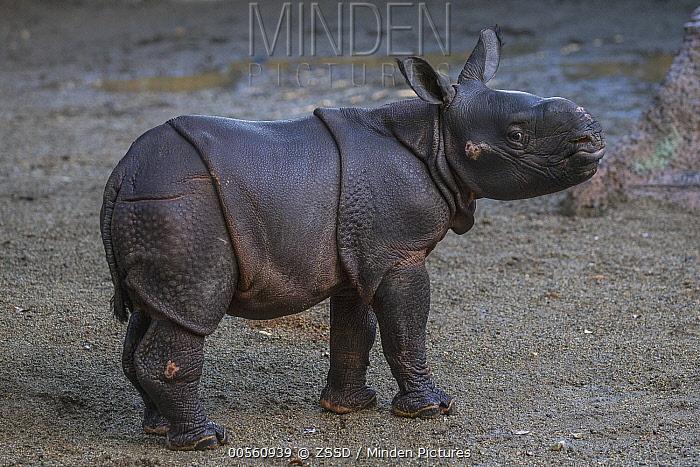 Indian Rhinoceros (Rhinoceros unicornis) male calf, San Diego Zoo Safari Park, California
