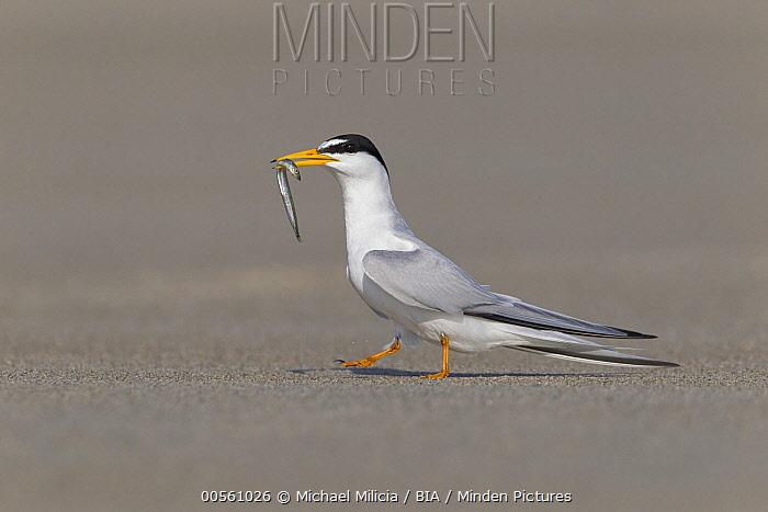 Least Tern (Sterna antillarum) with fish prey, North America
