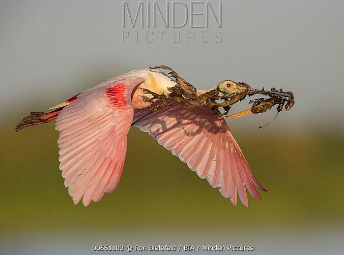 Roseate Spoonbill (Platalea ajaja) flying with nesting material, Florida