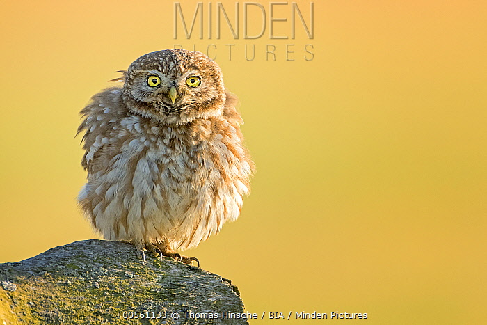 Little Owl (Athene noctua), fluffing up its feathers, Hungary