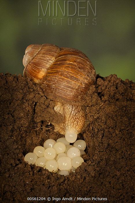 Edible Snail (Helix pomatia) laying eggs, Germany