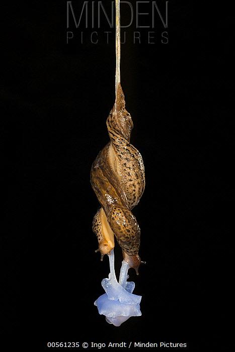 Minden Pictures stock photos - Great Grey Slug (Limax