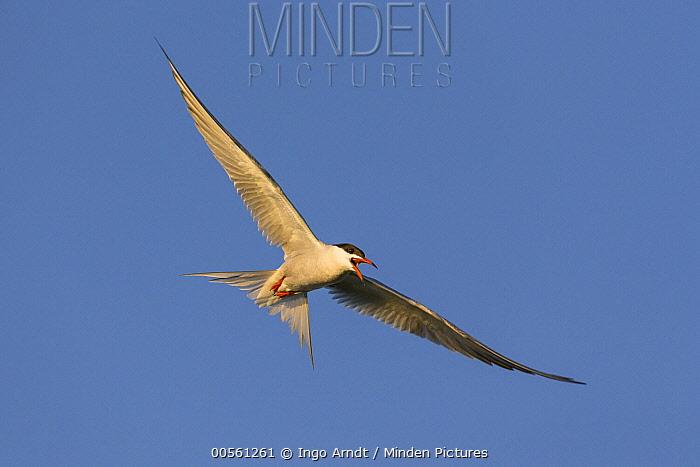 Common Tern (Sterna hirundo) flying and calling, Danube Delta, Romania