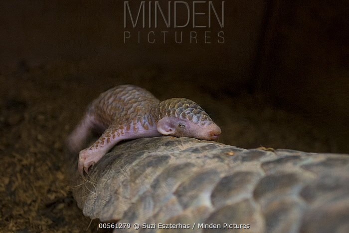 Chinese Pangolin (Manis pentadactyla) two week old baby clinging to mother, both were rescued from poachers, Taipei Zoo, Taipei, Taiwan