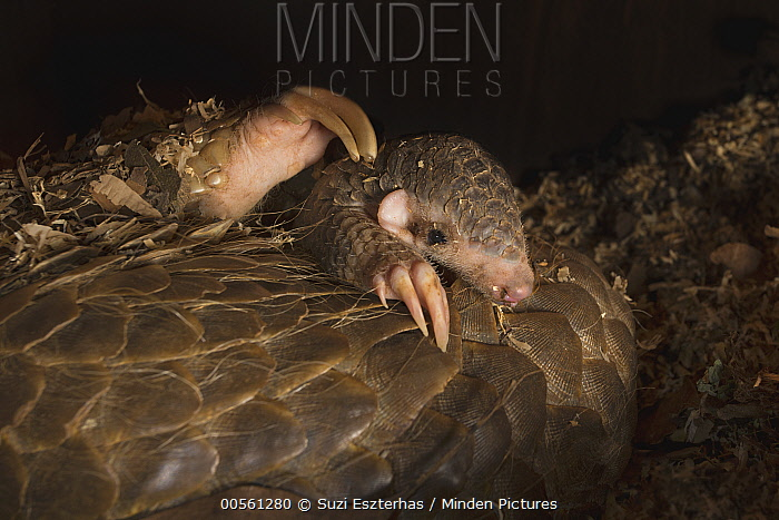 Chinese Pangolin (Manis pentadactyla) two month old baby climbing on mother, both were rescued from poachers, Taipei Zoo, Taipei, Taiwan