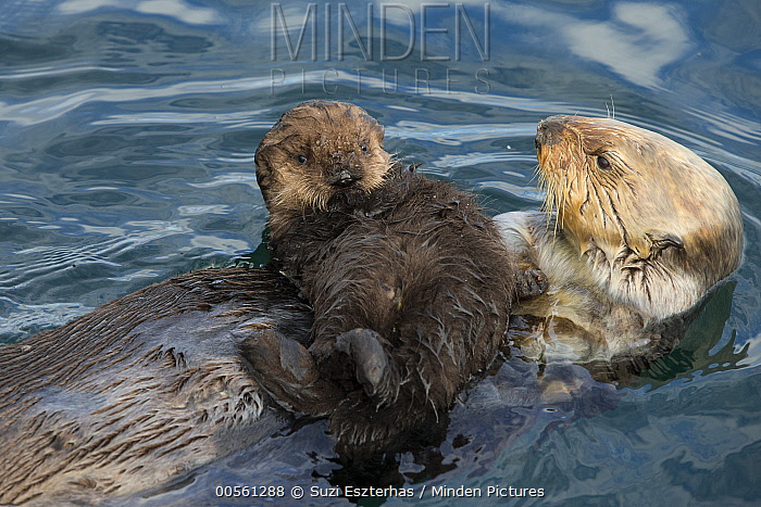 Sea Otter (Enhydra lutris) mother and six day old newborn pup, Monterey Bay, California