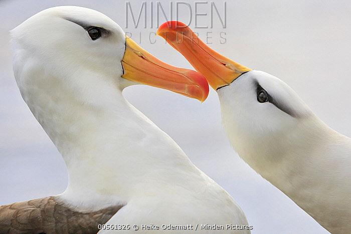 Black-browed Albatross (Thalassarche melanophrys) pair courting, Saunders Island, Falkland Islands