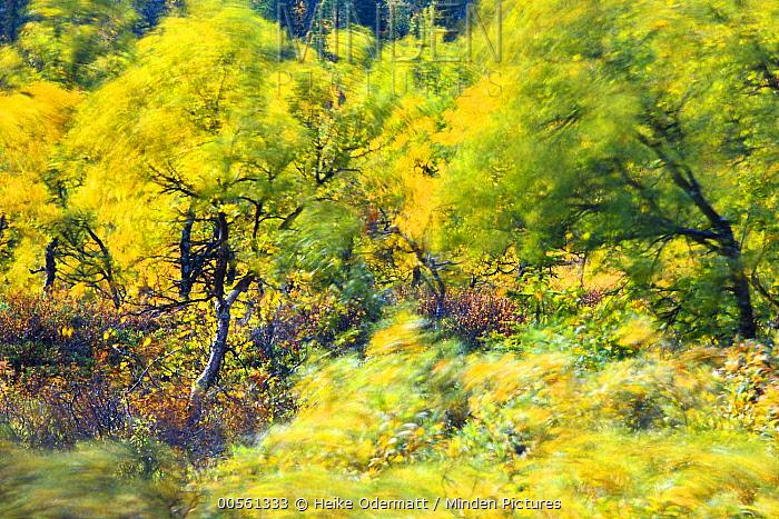 Birch (Betula sp) trees in wind in autumn, Lapland, Finland