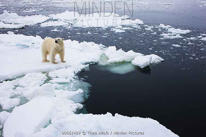 Polar Bear (Ursus maritimus) on ice floe, Svalbard, Norway