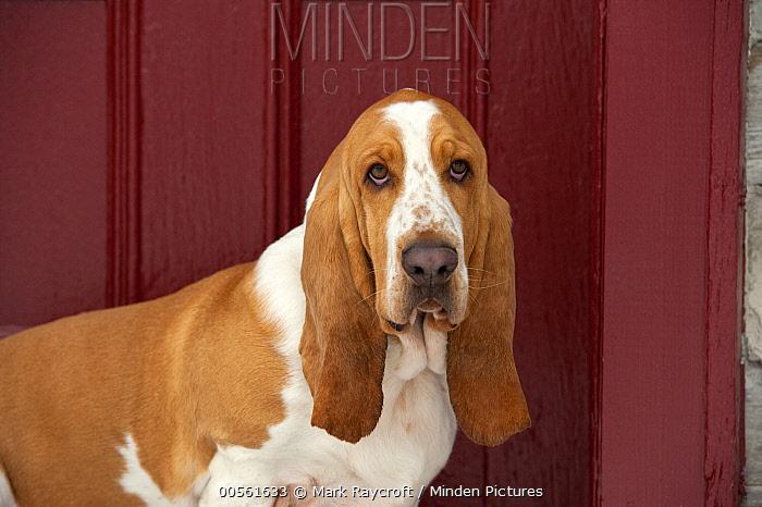 Basset Hound (Canis familiaris)