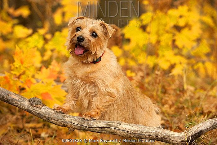 Norfolk Terrier (Canis familiaris) female