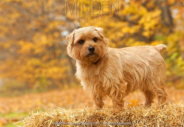 Norfolk Terrier (Canis familiaris) male