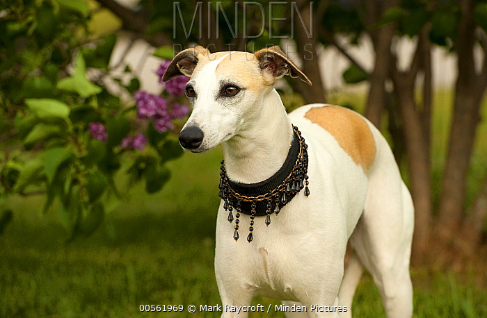 Whippet (Canis familiaris)with beaded collar