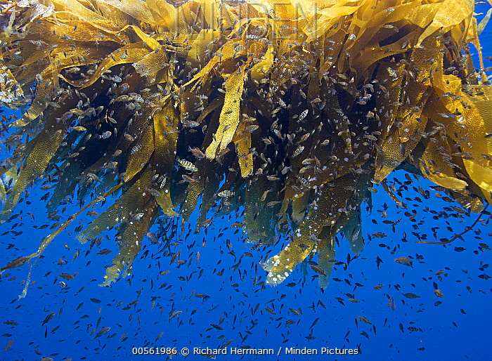 Splitnose Rockfish (Sebastes diploproa) young using drifting Giant Kelp (Macrocystis pyrifera) as shelter, San Diego, California