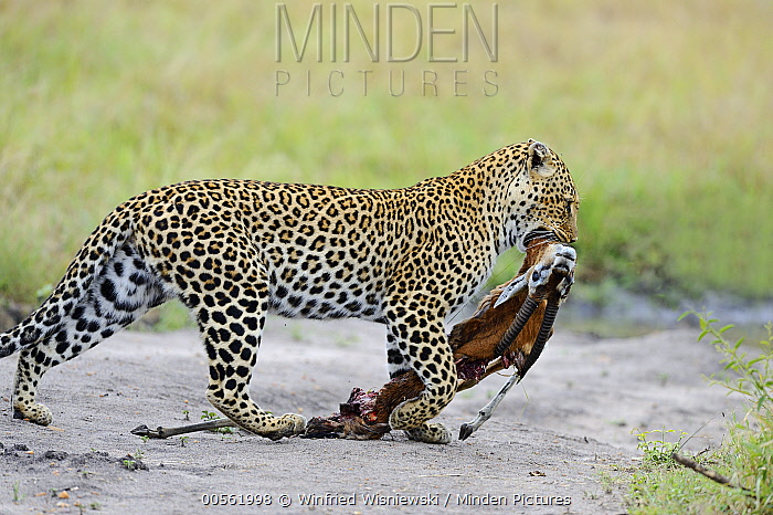 Leopard (Panthera pardus) carrying Thomson's Gazelle (Eudorcas thomsonii) prey, Masai Mara, Kenya