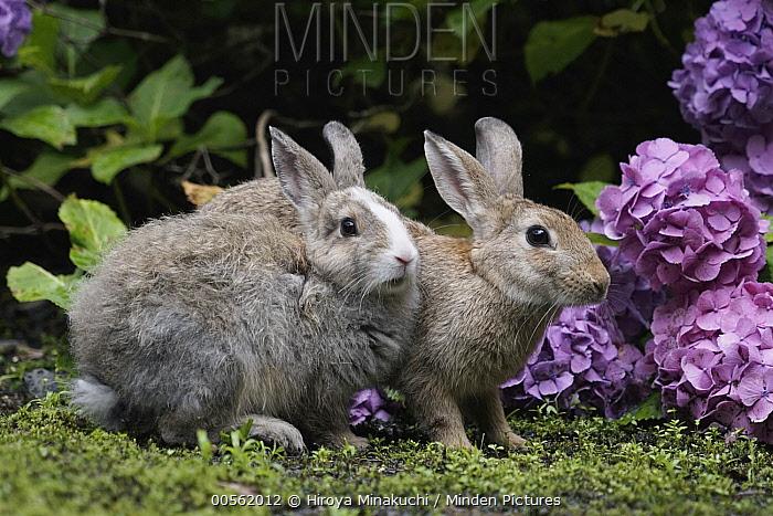 Japanese Hare (Lepus brachyurus) pair in garden, Okunoshima Rabbit Island, Japan