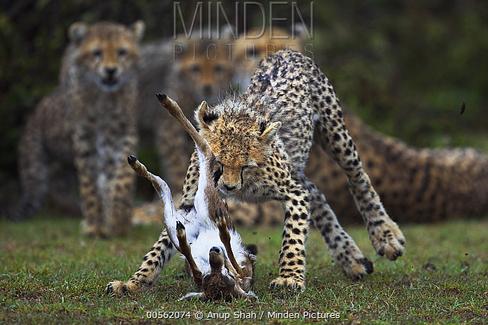 Cheetah (Acinonyx jubatus) cubs catching Thomson's Gazelle (Eudorcas thomsonii) that their mother caught, Masai Mara, Kenya, sequence 3 of 3
