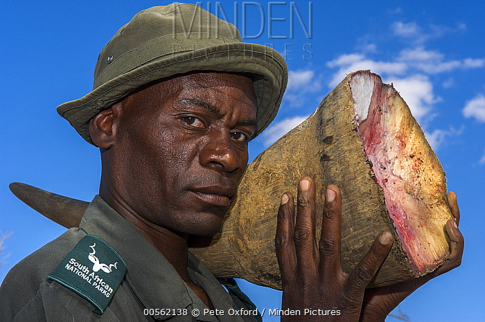 White Rhinoceros (Ceratotherium simum) horn carried by ranger after poachers abandoned it, South Africa