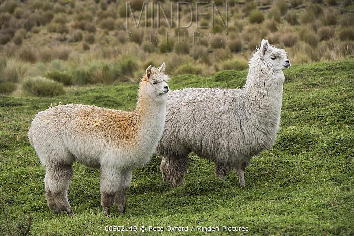Alpaca (Lama pacos) pair, Antisana Ecological Reserve, Ecuador
