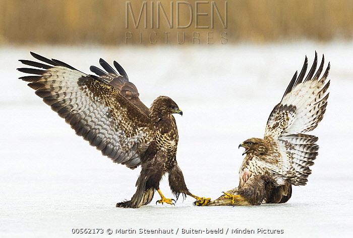 Common Buzzard (Buteo buteo) pair fighting on ice, Germany