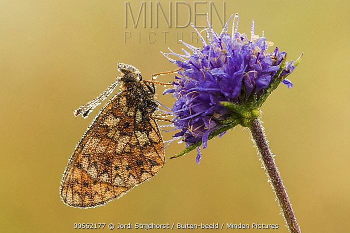 Small Pearl-bordered Fritillary (Boloria selene) butterfly, Netherlands