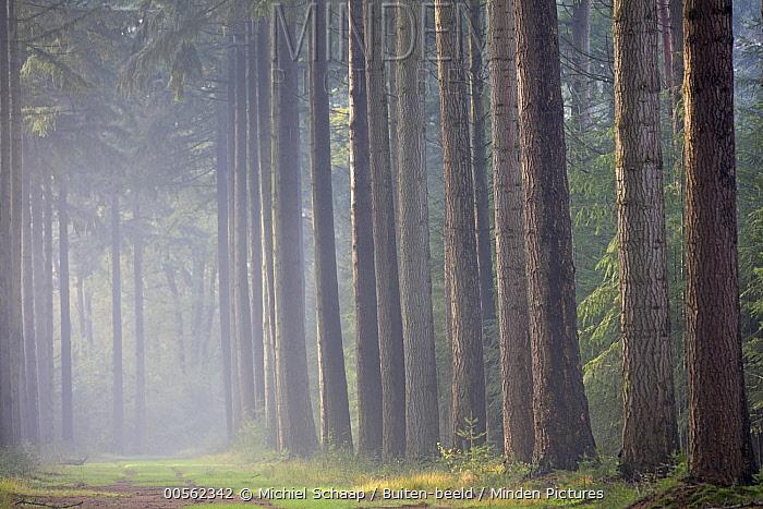 Douglas Fir (Pseudotsuga menziesii) trees in fog, Netherlands