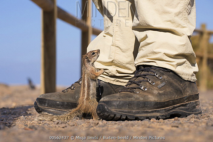 Barbary Ground Squirrel (Atlantoxerus getulus) looking for food from tourist, Spain
