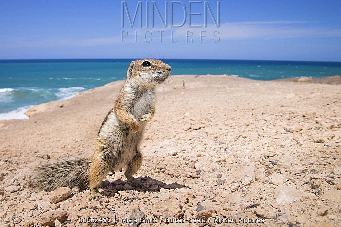 Barbary Ground Squirrel (Atlantoxerus getulus) on rocky coast of La Pared,  Fuerteventura, Spain