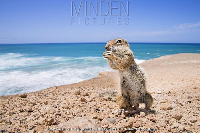 Barbary Ground Squirrel (Atlantoxerus getulus) feeding on rocky coast of La Pared,  Fuerteventura, Spain