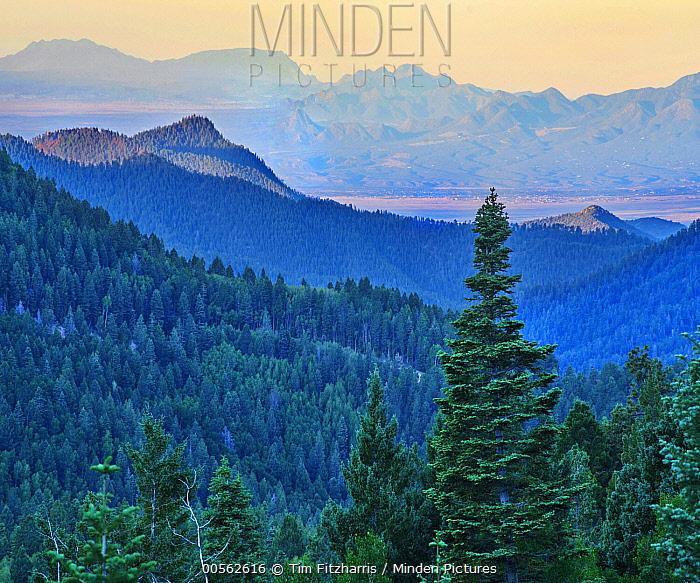 Coniferous forest, Jemez Mountains, Santa Fe National Forest, New Mexico