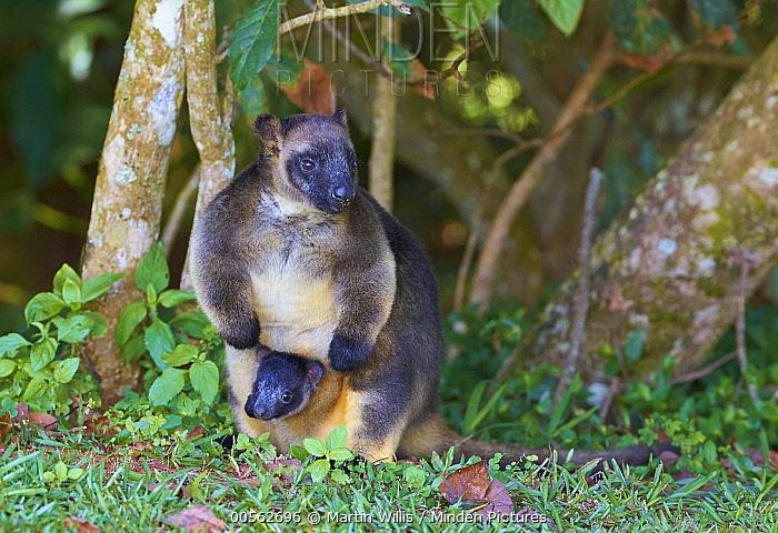 Lumholtz's Tree-kangaroo (Dendrolagus lumholtzi) mother with joey in pouch, Malanda, Queensland, Australia