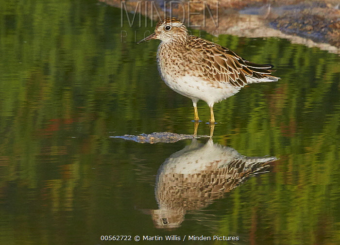 Sharp-tailed Sandpiper (Calidris acuminata), Coorong National Park, South Australia, Australia