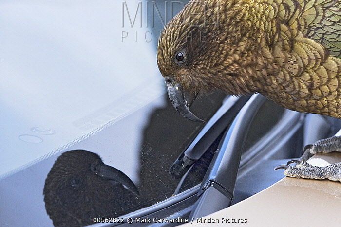 Kea (Nestor notabilis) investigating car windscreen wiper, Arthur's Pass National Park, Southern Alps, South Island, New Zealand