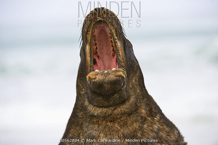 Hooker's Sea Lion (Phocarctos hookeri) calling, South Island, New Zealand