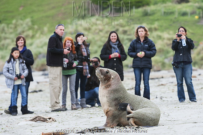 Hooker's Sea Lion (Phocarctos hookeri) group with tourists, South Island, New Zealand