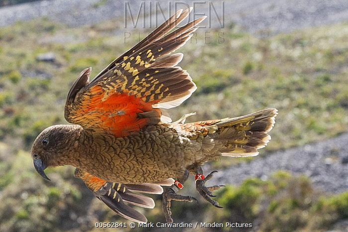 Kea (Nestor notabilis) flying, Arthur's Pass National Park, Southern Alps, South Island, New Zealand