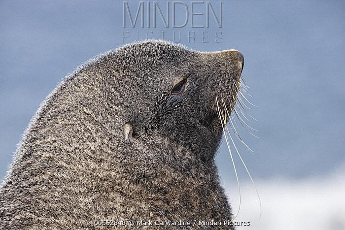 Antarctic Fur Seal (Arctocephalus gazella), Salisbury Plain, South Georgia Island