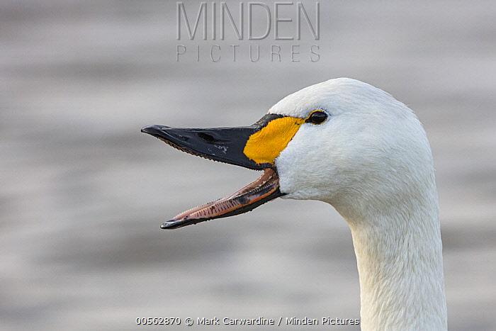 Tundra Swan (Cygnus columbianus) calling, Slimbridge, Gloucestershire, England, United Kingdom