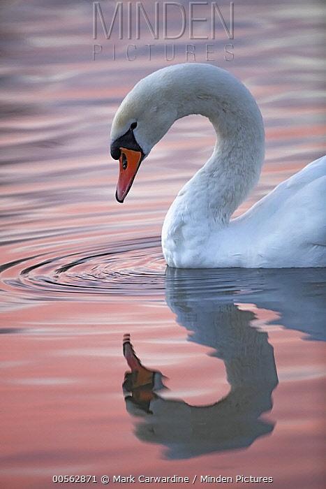 Mute Swan (Cygnus olor), Slimbridge, Gloucestershire, England, United Kingdom