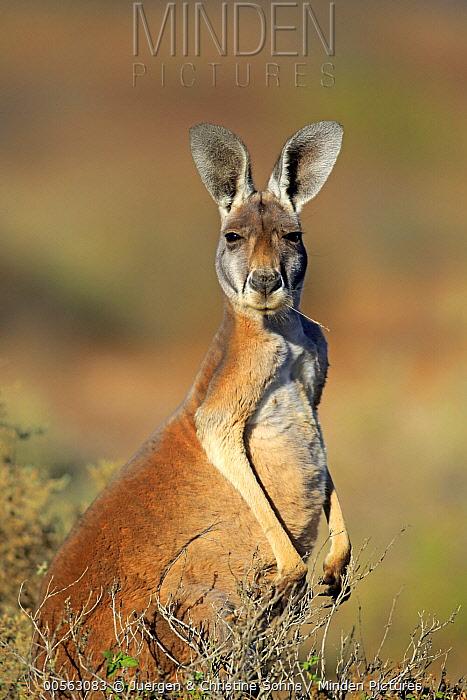 Red Kangaroo (Macropus rufus) male chewing grass, Sturt National Park, New South Wales, Australia