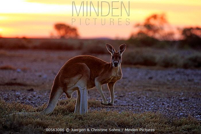 Red Kangaroo (Macropus rufus) male at sunrise, Sturt National Park, New South Wales, Australia