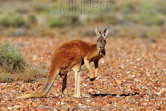 Red Kangaroo (Macropus rufus) male, Sturt National Park, New South Wales, Australia