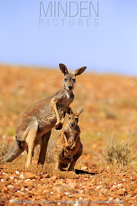 Red Kangaroo (Macropus rufus) mother with sub-adult, Sturt National Park, New South Wales, Australia