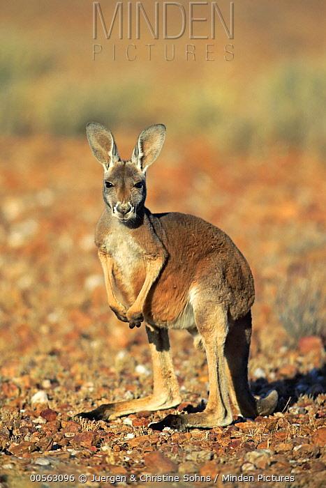 Red Kangaroo (Macropus rufus) sub-adult, Sturt National Park, New South Wales, Australia