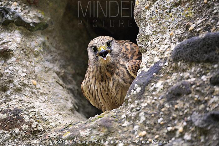 Eurasian Kestrel (Falco tinnunculus) calling from nest cavity, Eifel, Germany