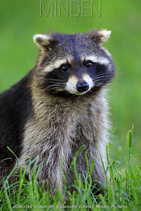Raccoon (Procyon lotor), Germany