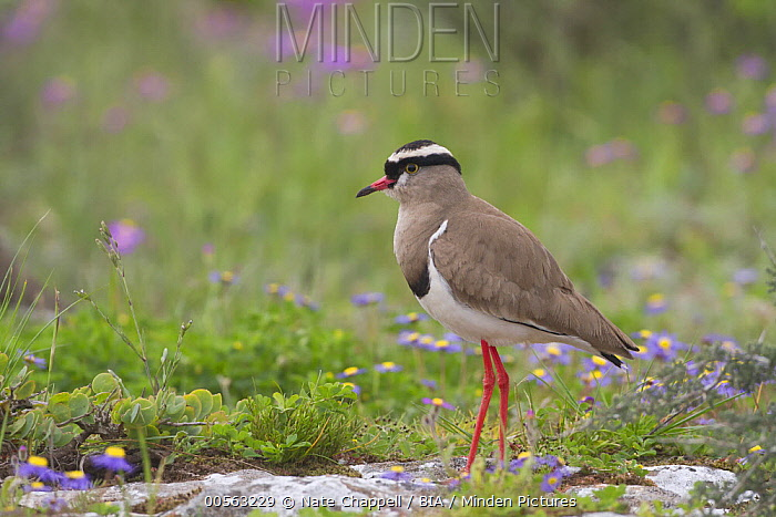 Crowned Lapwing (Vanellus coronatus), Western Cape, South Africa
